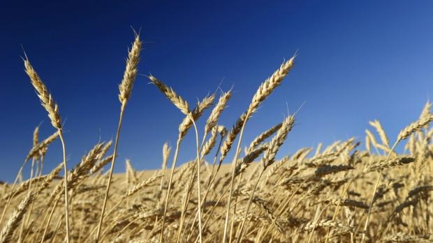 Ripened wheat ready for harvest in a large crop field near Maple Creek, Saskatchewan on August 21, 2013. (Larry MacDougal / The Canadian Press)