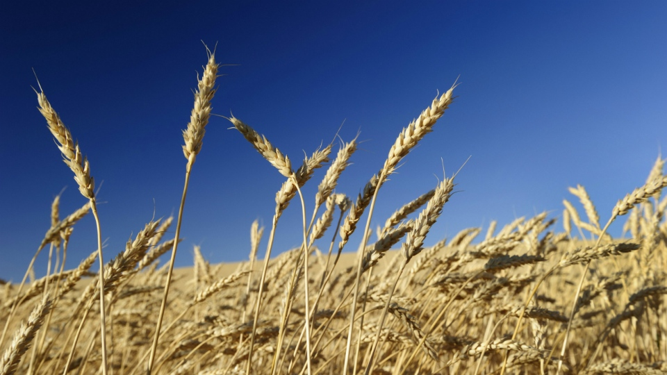 Ripened wheat ready for harvest in a large crop field near Maple Creek, Saskatchewan on August 21, 2013. (Larry MacDougal / The Canadian Press)