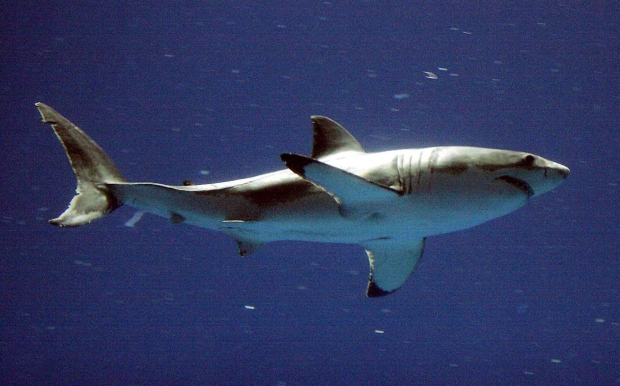 In this Sept. 14, 2004, file photo, a great white shark swims at the Monterey Bay Aquarium's Outer Bay Exhibit in Monterey, Calif. (Richard Green  / The Californian via AP)