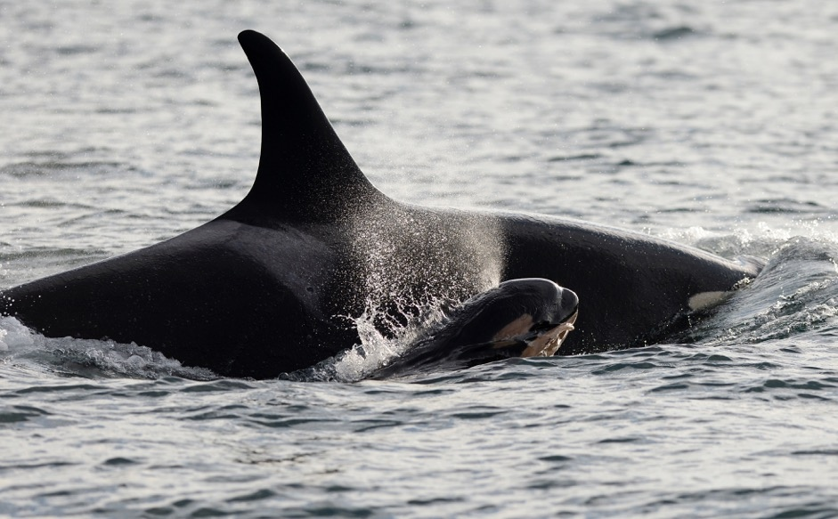 Endangered B C Killer Whale Pod Adds New Calf Ctv