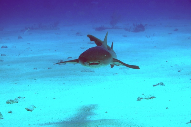 Experts say shark attacks are increasing as water sports become more popular and bait fish move closer to shore, but fatalities remain rare. (©Lawrence Cruciana)