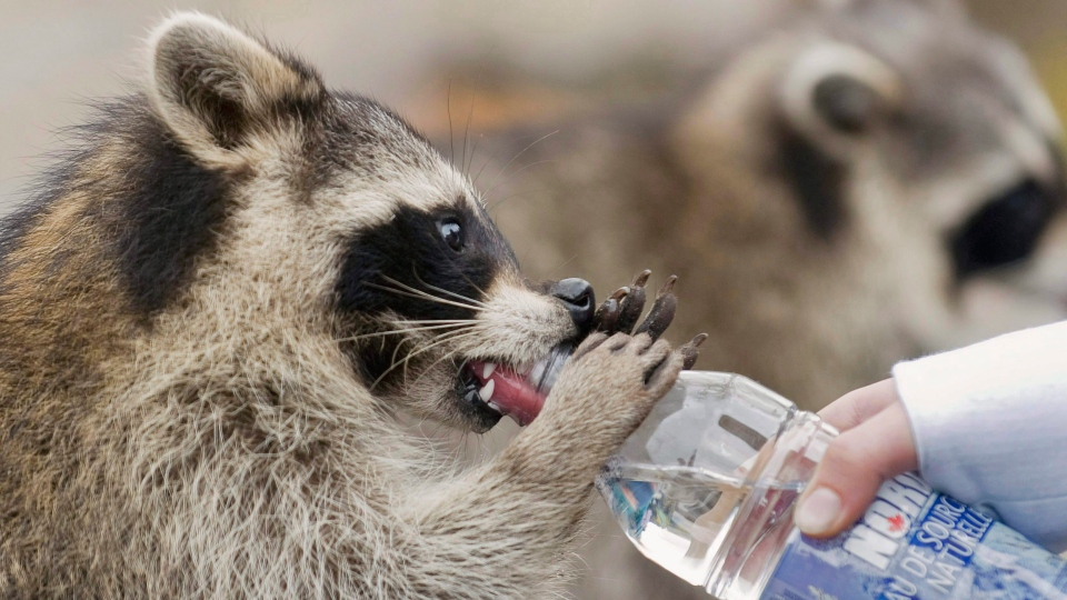 A raccoon drinks from a bottle held by a woman in Mount Royal park in Montreal, in this Sept. 26, 2010 photo. (THE CANADIAN PRESS/Graham Hughes)