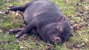 CTV Kitchener: Potbellied pig problem