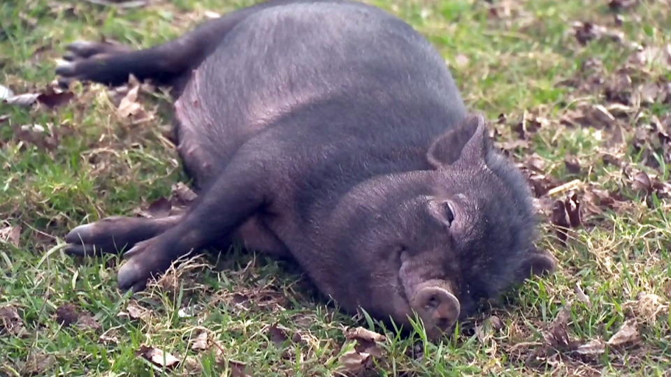 A pot-bellied pig is seen in this file image taken from video.