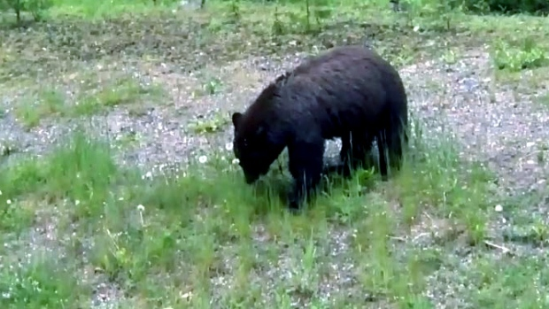Close call for 2 ontario tourists after grizzly bear for Landscaping rocks windsor ontario