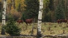 Alberta Wild Horses W5