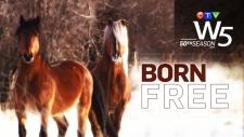 W5 Born Free Alberta wild horses