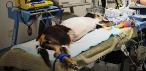 Rescue pup undergoes cardiac surgery
