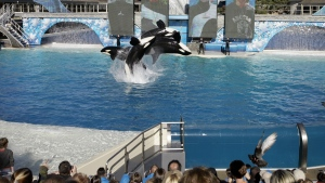 Four killer whales, including Kasatka and her calf, Kalia, leap out of the water while performing during SeaWorld's Shamu show in San Diego on Nov. 30, 2006. (AP / Chris Park)