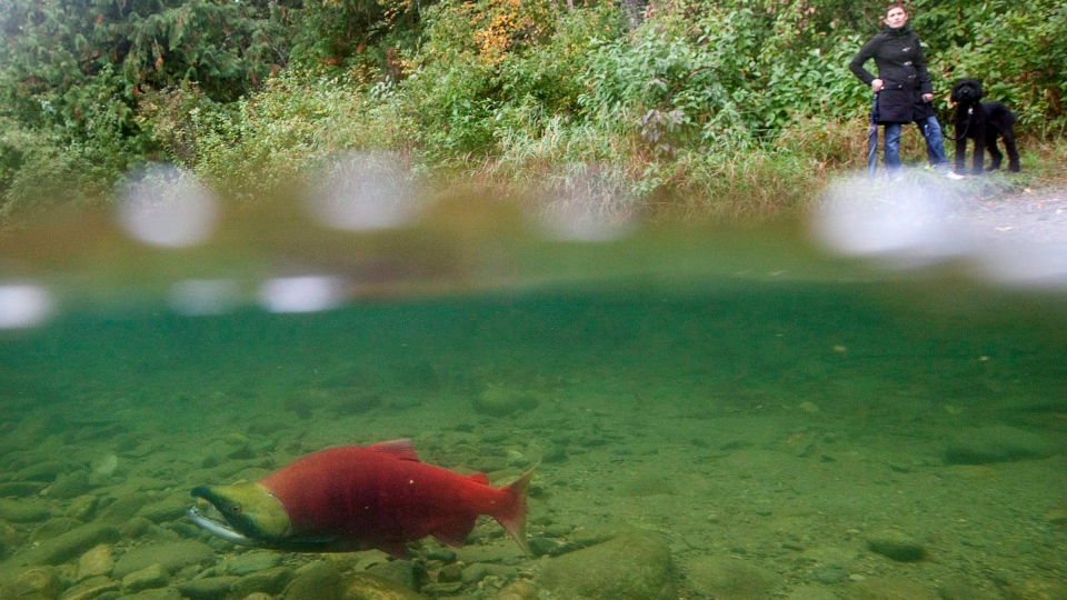 A spawning sockeye salmon is seen making its way up the Adams River in Roderick Haig-Brown Provincial Park near Chase, B.C. on Oct. 4, 2011. (THE CANADIAN PRESS/Jonathan Hayward)
