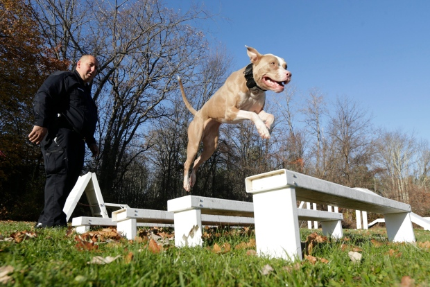 Newly minted pit bull police dog fights crime, as well as savage