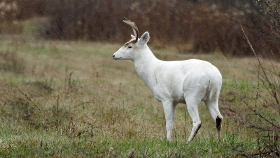 In a Nov.10, 2015 photo provided by Seneca White Deer Inc., a white buck stands in a clearing at the former Seneca Army Depot in central New York. (Dennis Money/Seneca White Deer Inc. via AP)