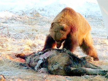 Grizzly kills moose in...