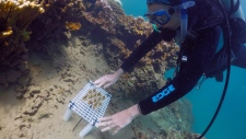 In this Oct. 23, 2015 photo provided by Vulcan, Inc., Hawaii Institute of Marine Biology researcher Jen Davidson places a tray of enhanced coral onto a reef during a practice run for future transplants in Hawaii's Kaneohe Bay off the island of Oahu. (Hugh Gentry/Vulcan Inc. via AP)