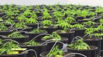 Marijuana grows inside the Kindcann plant in Paris, Ont., on Monday, Nov. 16, 2015.