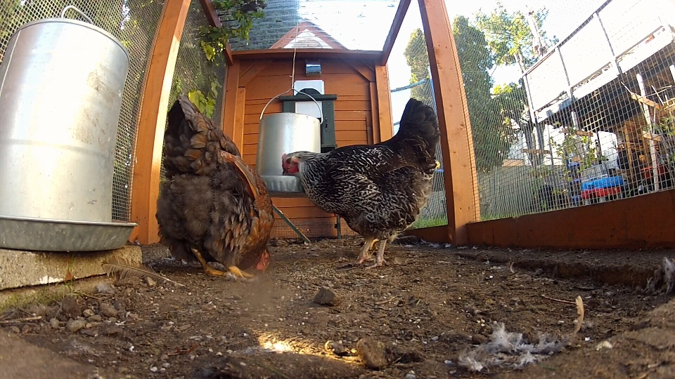 """The """"Rent The Chicken"""" service rents out coops, laying hens, chicken feed and food and water dishes to those who want backyard chickens, but aren't ready to commit full time to raising them. Nov. 19, 2015. (CTV Vancouver Island)"""