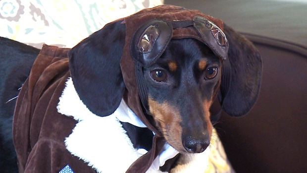 crusoe the celebrity dachshund ctv ottawa news