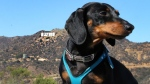 The book 'Crusoe, The Celebrity Dachshund' is currently the ninth among animal books on New York Times Best Sellers list. (celebritydachshund.com)