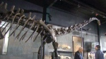 Canada AM: Dino skeleton sold at auction for 700K