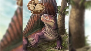"Dimetrodon is shown with an overlay of the ""Bathygnathus"" fossil from P.E.I. (Danielle Dufault)"