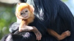 A baby Francois' langur is seen in a Taronga Conservation Society photo.