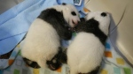 The Toronto Zoo's panda cubs are seen at six weeks old. (Toronto Zoo)