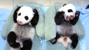 Canada AM: New video of Toronto Zoo pandas