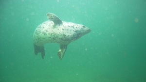 File photo: A harbour seal is shown in the waters off the coast of Nanaimo. (Courtesy Sundown Diving)