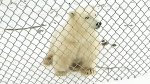 CTV Winnipeg: Polar bear cubs make public debut
