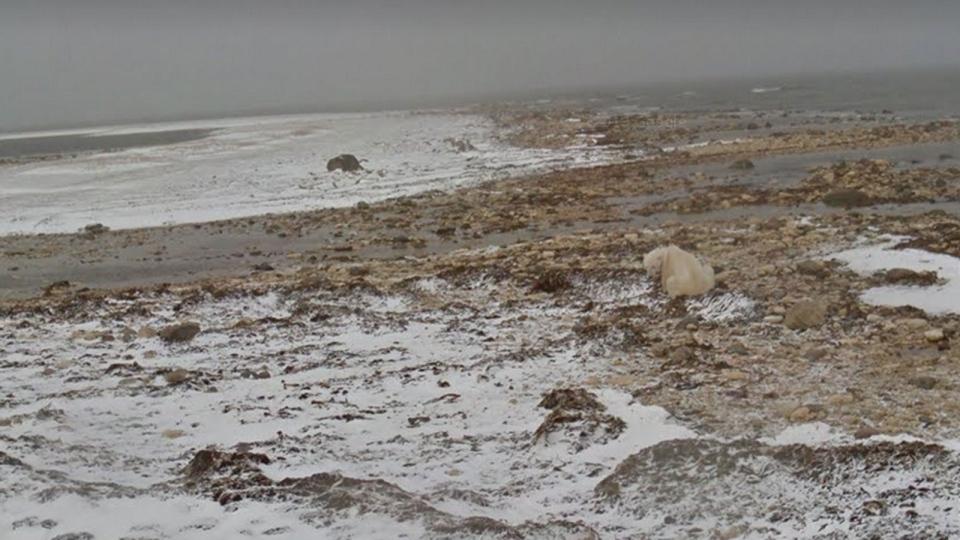 An image of a polar bear, captured on the Google Street View camera (Google Street View)