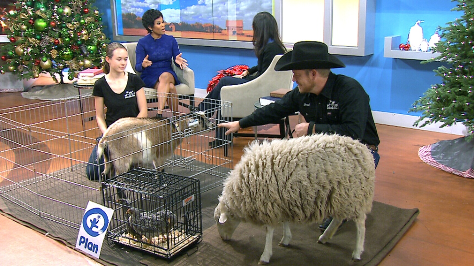 Animals from Plan Canada appear on Canada AM for 'Giving Tuesday' on Tuesday, Dec. 1, 2015.