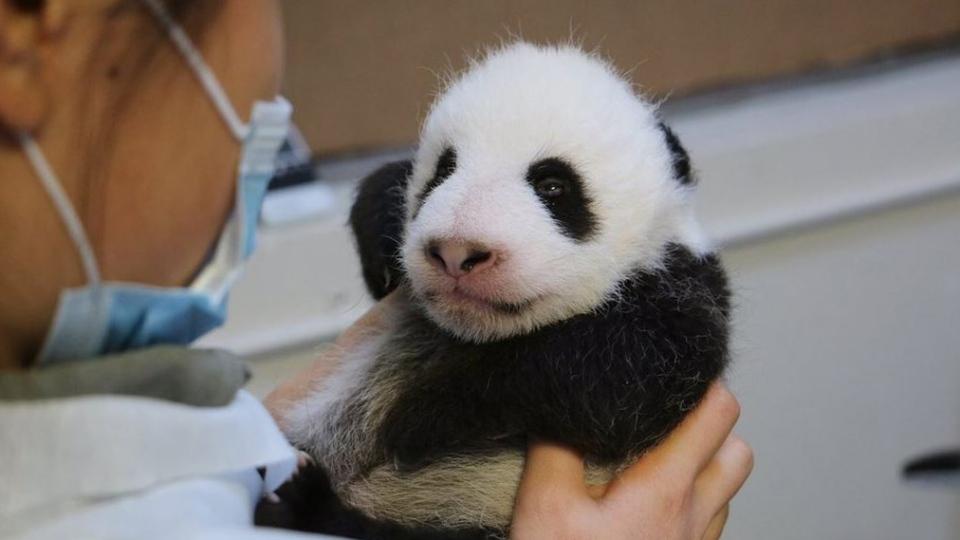 Toronto Zoo S Giant Panda Cubs Open Their Eyes At 8 Weeks