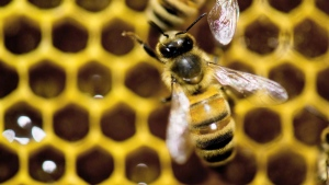 A bee is shown on a honeycomb in this file photo. (THE CANADIAN PRESS/AP Photo/Andy Duback)