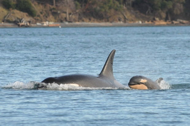 killer whale birth