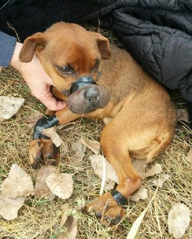 A dog was found with its muzzle, paws, and neck tightly bound with electrical tape in Windsor. (Courtesy Windsor/Essex County Humane Society)