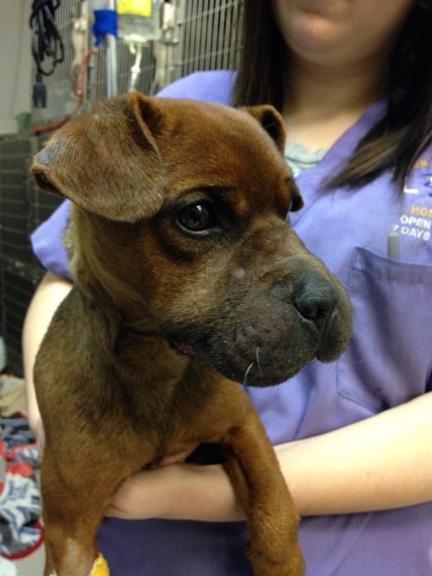 Justice is recovering after being bound with electrical tape in Windsor. (Courtesy Windsor/Essex Humane Society)