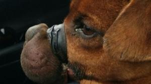 Taped muzzle