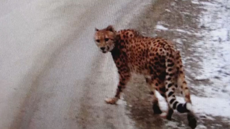The cheetah was seen at the side of the road near Kootenay Bay by a motorist who took some pictures of the cat wearing an orange cloth collar and called the RCMP.