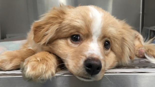 Mittens, an injured dog at Winnipeg Humane Society