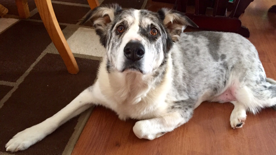 Buddy, a six-year-old Australian Shepard, now weighs 71 pounds (32 kg) after losing more than 100 pounds (45 kg).