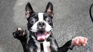 This May 19, 2015 photo provided by Artisan Books shows Piggy, a 2-year-old Boston Terrier, standing up to photographer Elias Weiss Friedman, in New York. (Photo from Artisan Books)