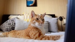 A cat is seen in this file image. A paper by animal health experts at the University of Guelph says cats do just fine when fed once a day.