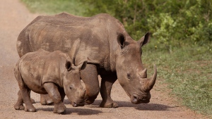 Rhinos walk in the Hluhluwe game reserve South Africa, Sunday, Dec. 20, 2015. (AP / Schalk van Zuydam)