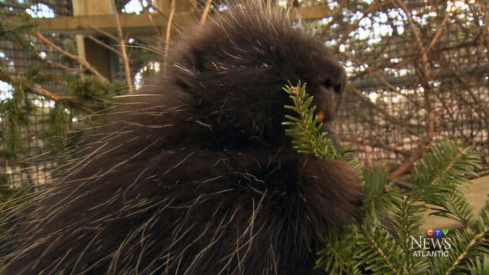 Porcupines at the Hope for Wildlife Society in Seaforth, Nova Scotia eat donated Christmas trees.