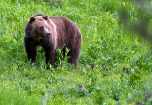This July 6, 2011 file photo shows a grizzly bear roaming near Beaver Lake in Yellowstone National Park, Wyo. (AP Photo/Jim Urquhart, File)
