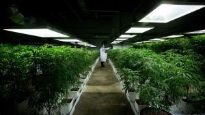 FILE - MediJean cannabis plant care technician Misad Shazi sprays water on marijuana plants growing at the medical marijuana facility in Richmond, B.C., on Friday March 21, 2014. (THE CANADIAN PRESS/Darryl Dyck)