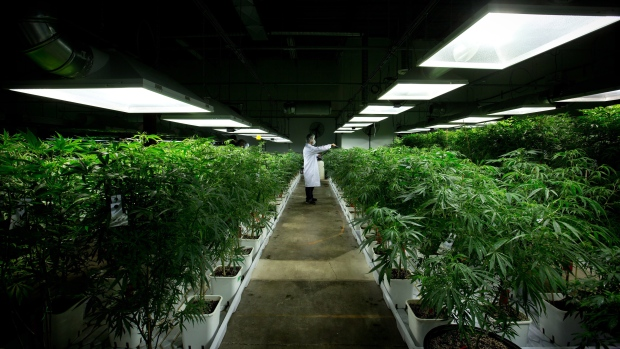 Marijuana plants growing in Richmond, B.C.