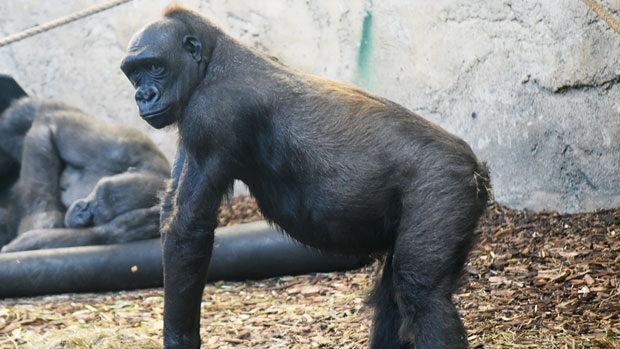Kioja, the Calgary Zoo's 14-year-old female Western lowland gorilla is pregnant, with the baby due sometime in March. (Supplied)