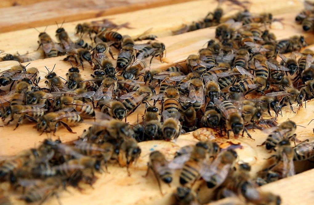 Honeybees gather around a hive