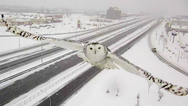 Snowy owl close-up from Quebec traffic camera